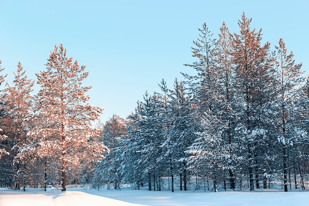 Pine forest under the winter snow in the evening. siberian taiga paints.