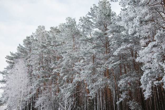Pine forest in the winter snow, seasons, the beauty of nature, trees in frost, frozen trees, winter, park, pine branch in snow