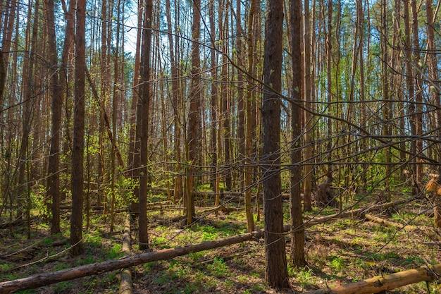 他の松に対して美しい高い松の木がある松林