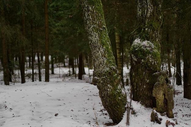 겨울에 푸른 나무가 있는 소나무 숲. 나뭇가지에 눈