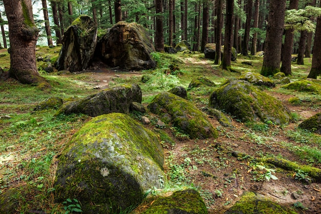 Pine forest with rocks and green moss
