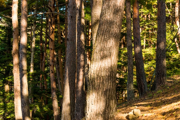 Pine forest with sunlight and shadows