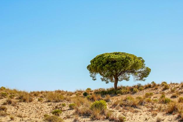 모래 언덕에 소나무
