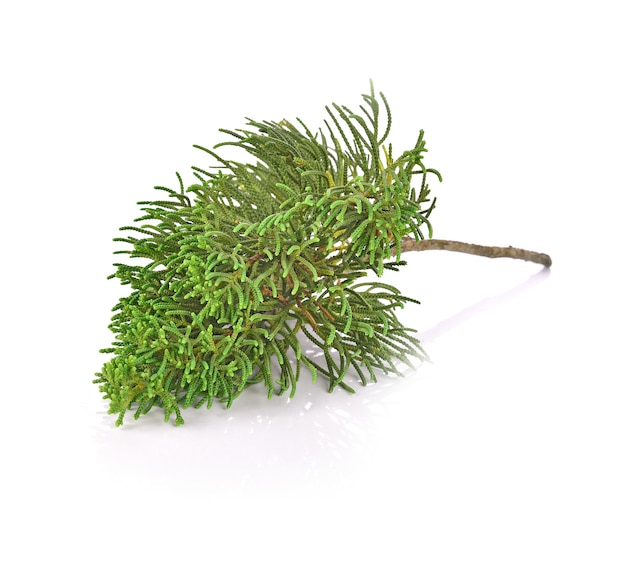 Pine leaf on white background