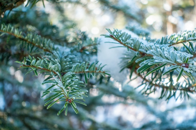 冬の雪と松の葉