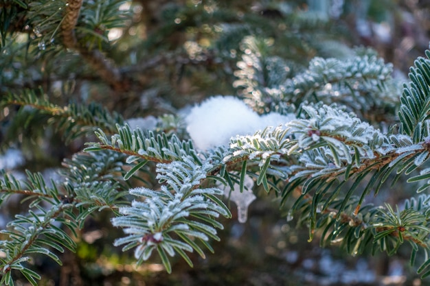 Pine leaf with snow in winter season