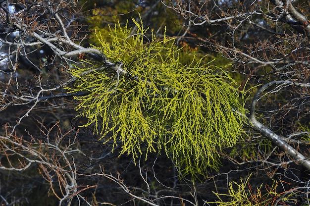 Foglie di pino sui rami secchi dell'albero
