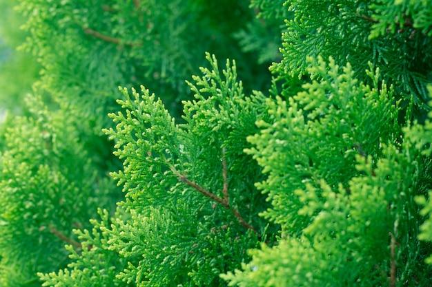 松、エバーグリーンthujaの背景、冬の木とクリスマスツリーの背景のコンセプト