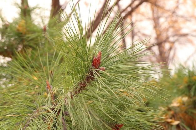 Pine leaves in spring korea