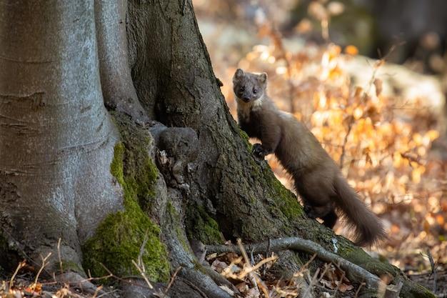 Pine marten climbing on tree in sunny autumn nature.