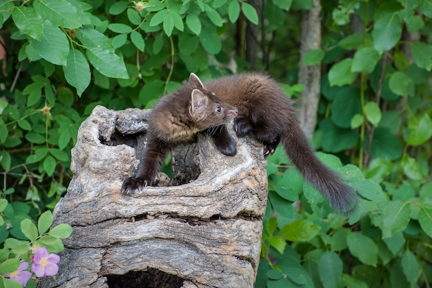 Pine marten kit clambering over a hollow log