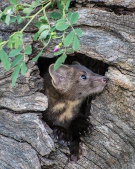 Pine marten kit peeking out of its den