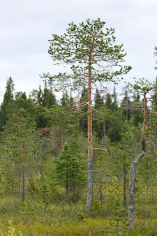 Pine in a mixed forest in a swamp in the tundra.