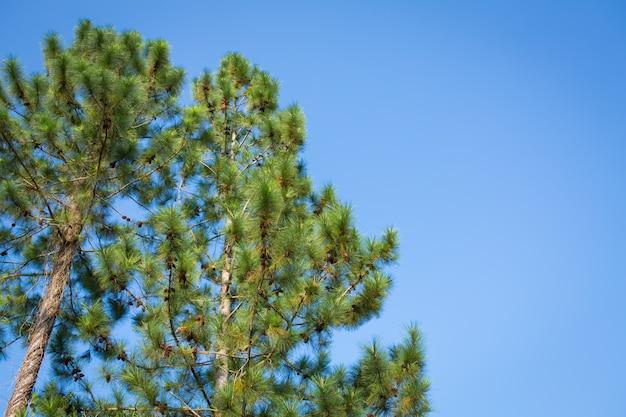 Сосна и конусы над голубое небо