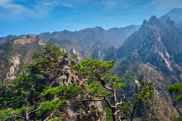 Сосна и скалы, национальный парк сораксан, южная корея