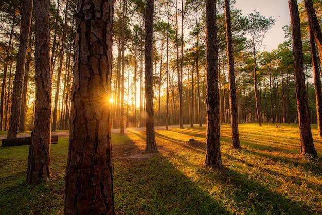 Сосна на восходе солнца в лесоводческой исследовательской станции боа кео (суан сон боа кео), чиангмай, таиланд.