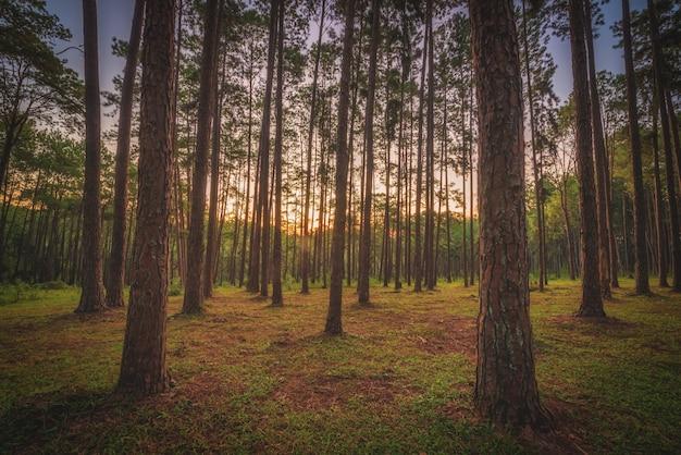 タイ、チェンマイのボアキーウ造林研究ステーション(スアンソンボアキーウ)の日の出の松の木。