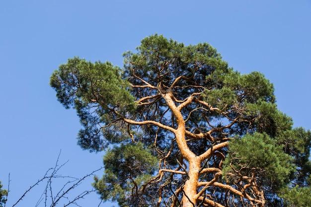 소나무 껍질과 몸 배경, 클로즈업, 아름다운 나무 배경