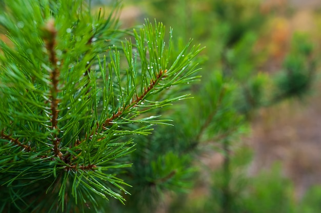 Pine tree branch with water drops. macro shot
