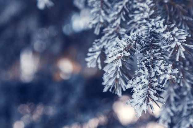 Pine tree branches are covered with frost nature winter natural background snow coniferous needles