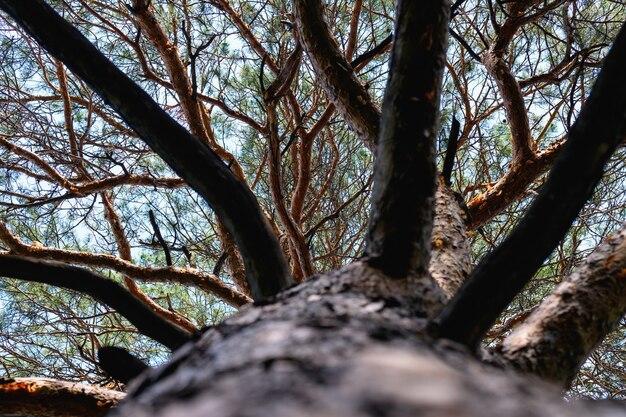 松の木の枝の底面図。松の冠
