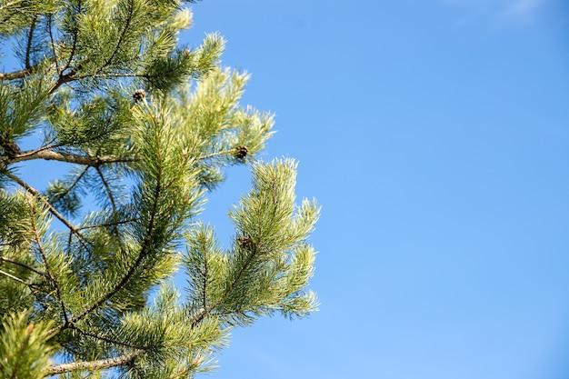 화창한 봄 날 동안 소나무 나무 가지. 푸른 하늘이 소나무 또는 삼나무의 밝은 녹색 가시 가지.