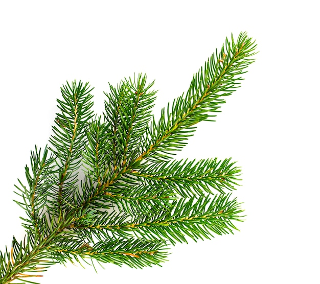Pine tree branches isolated