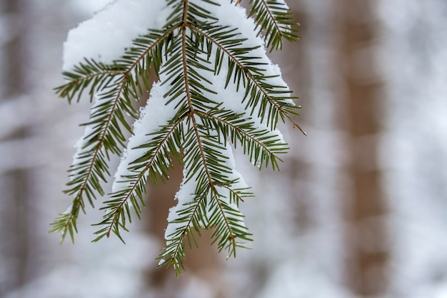 Pine tree branches with green needles covered with deep fresh clean snow on blurred blue outdoors copy space background.