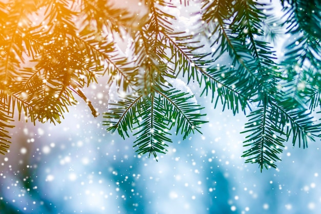 Pine tree branches with green needles covered with deep fresh clean snow on blurred blue outdoors copy space background