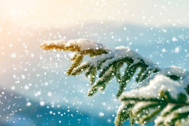 Pine tree branches with green needles covered with deep fresh clean snow