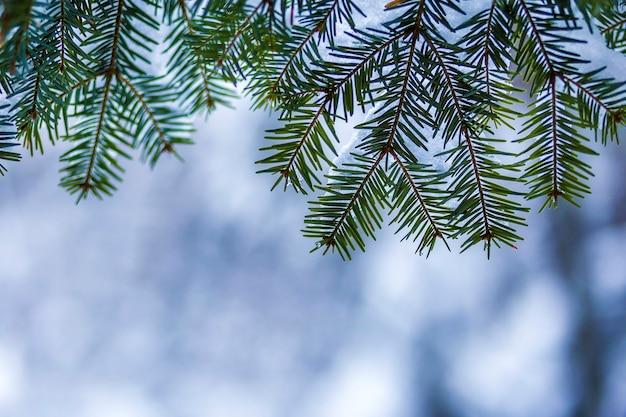 깊고 신선한 깨끗한 눈으로 덮여 녹색 바늘 소나무 나뭇 가지
