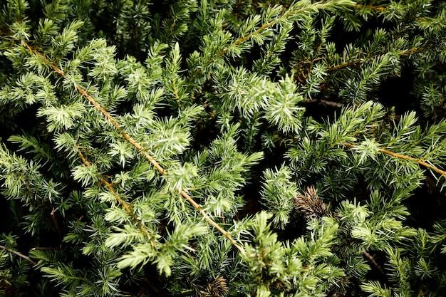 Pine tree closeup branches