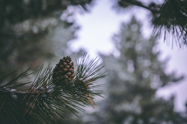 Pine tree closeup photo