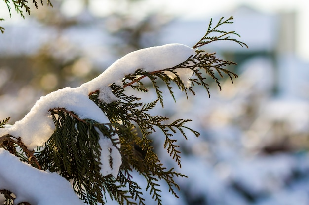 Pine tree covered with hoar frost close-up.