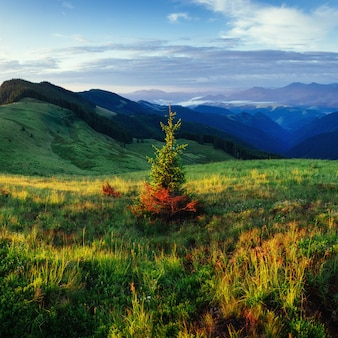 Pine tree forest. beauty world. carpathians. ukraine, europe