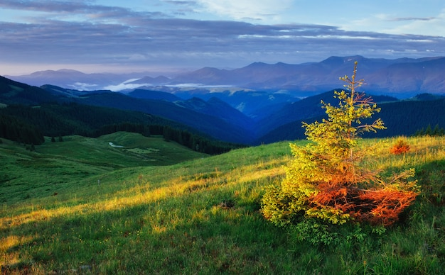 Pine tree forest. carpathians. ukraine, europe