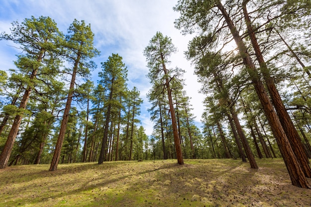 Pine tree forest in grand canyon arizona