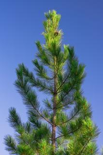소나무, 녹색