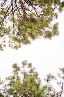 Pine tree on holiday