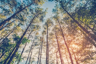 Pine tree in natural forest and sunlight with vintage tone.
