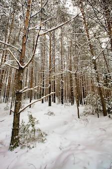 冬の松の木