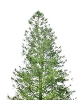 白で隔離される松の木