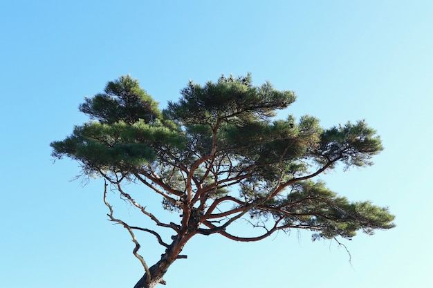 Pine tree in korea
