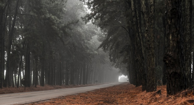 Pine tree mist road beautiful scene