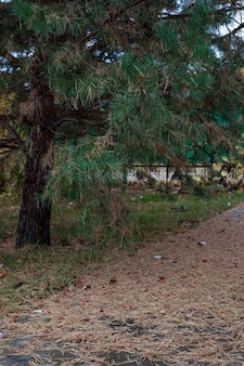 Pine tree near river in autumn park large old green pine tree with fallen and dry needles lying on g...