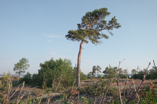 A pine tree in the northern region. nordic landscape
