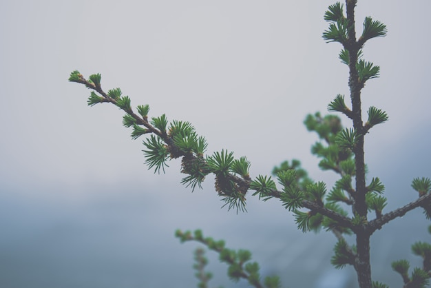Pine tree in rainforest foggy weather , winter background