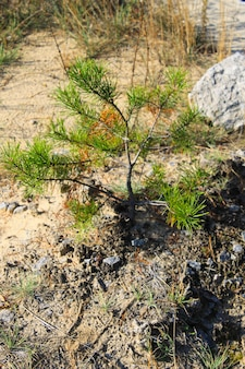 Pine tree sapling in a forest
