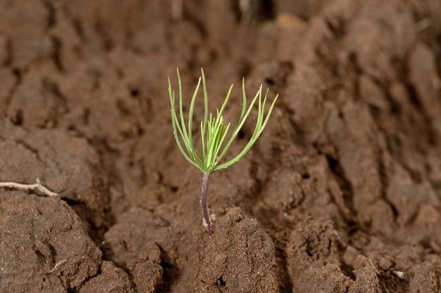 Pine tree seeding