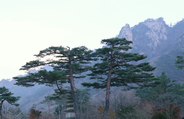 Pine tree in spring korea